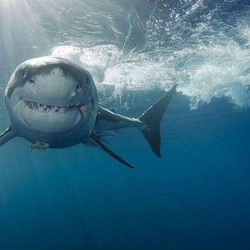 Der Weiße Hai ist der größte Raubfisch der Welt. Seinen Namen verdankt er seinem hellen Bauch, der mit den Jahren immer weißer wird.