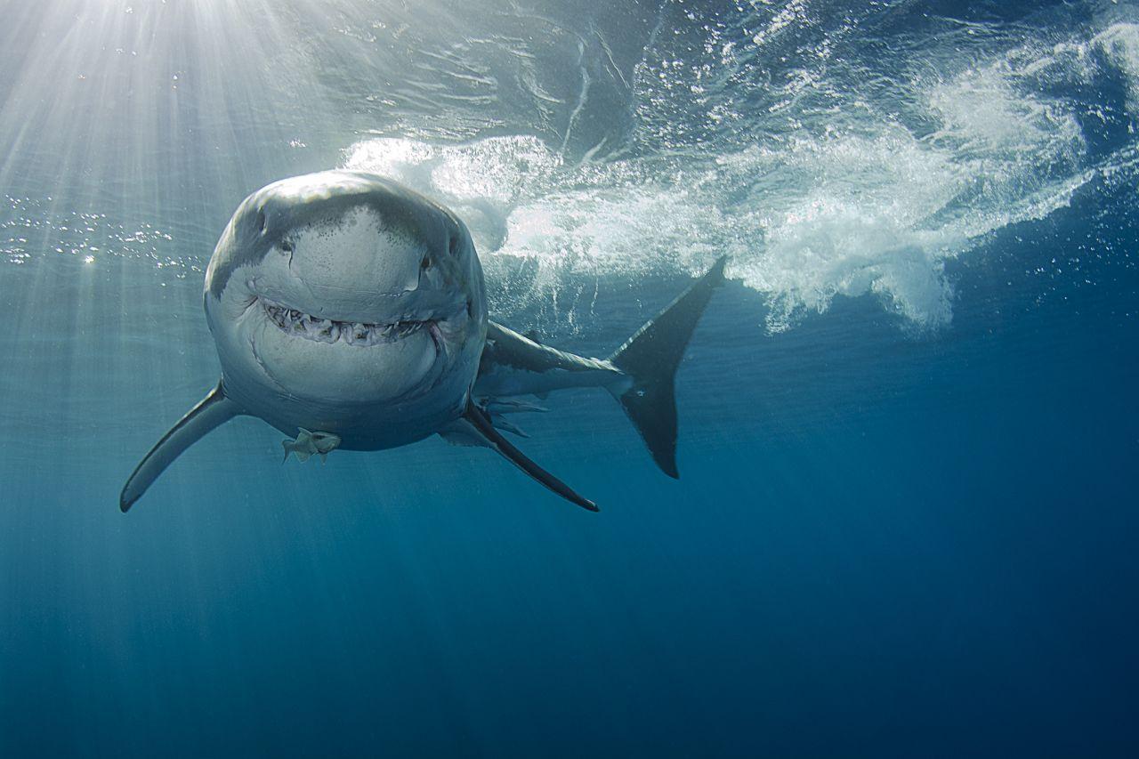 Falscher Hai-Alarm: Warum der Fisch gar kein Killer ist