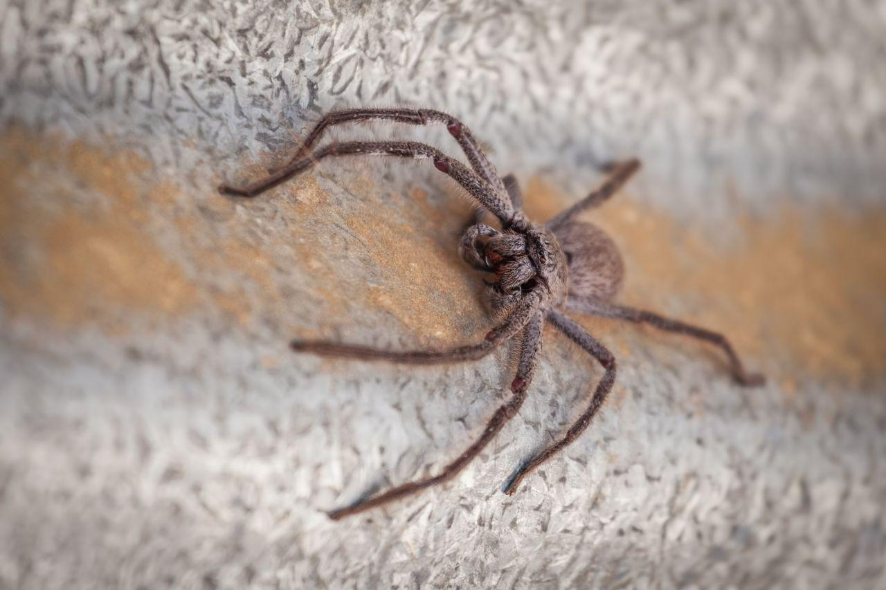 Die größte Spinne der Welt: Wie groß wird die Riesenspinne wirklich?
