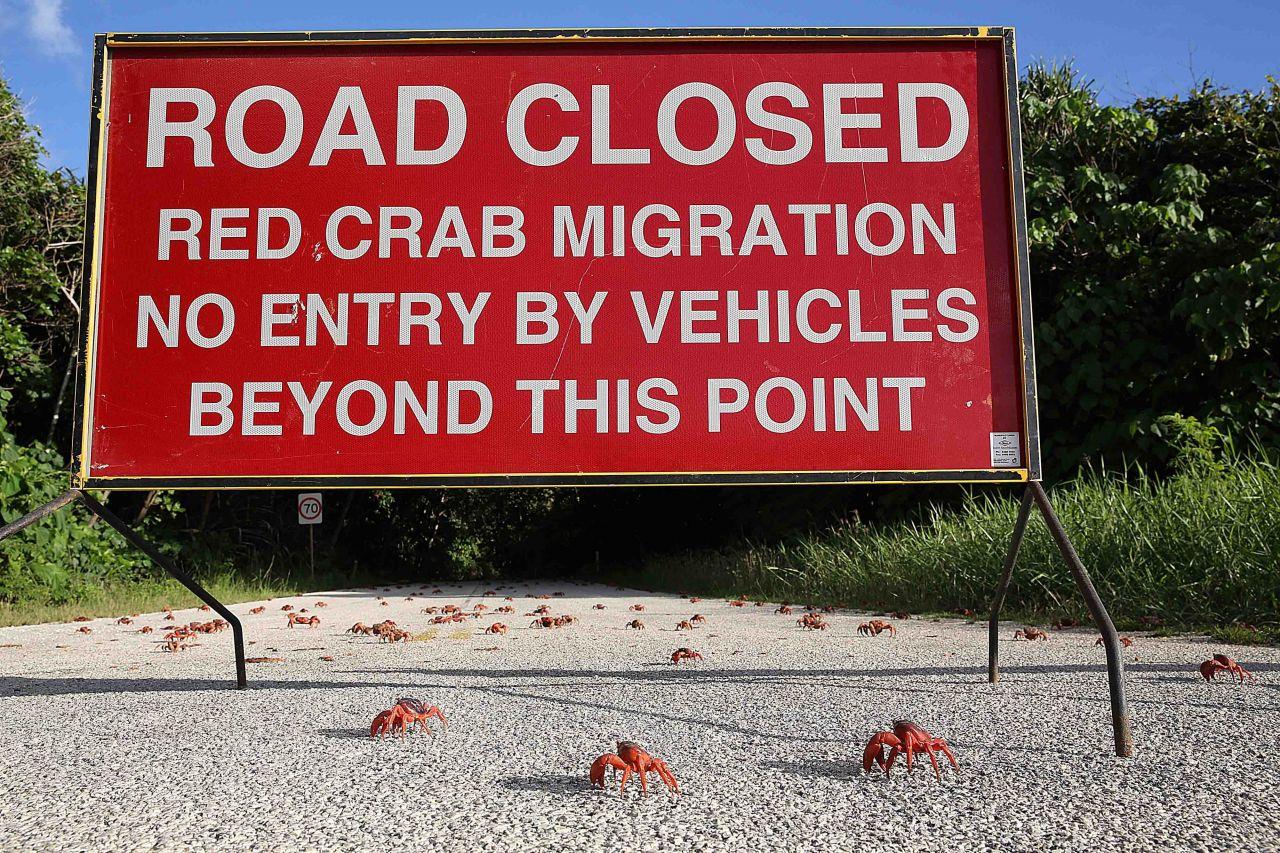 Auch Autos können den Krabben gefährlich werden. Deswegen werden viele Straßen zur Wanderzeit der Krabbler gesperrt.