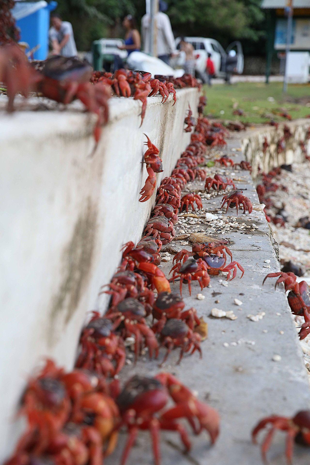 Um die Massenwanderung der Krabben mitzuerleben, reisen viele Touristen an.
