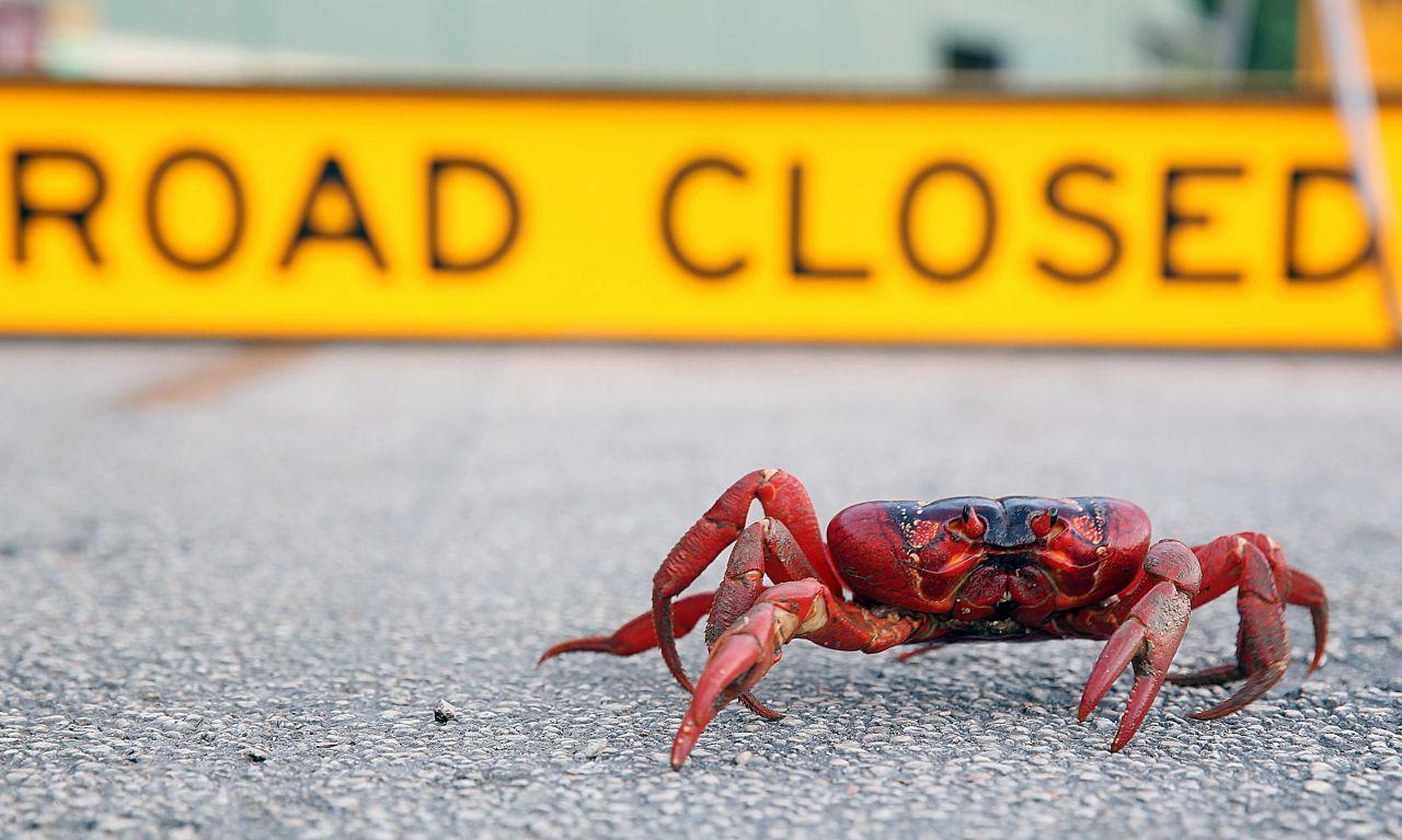 Weihnachtsinsel-Krabben können bis zu 25 Jahre alt werden.