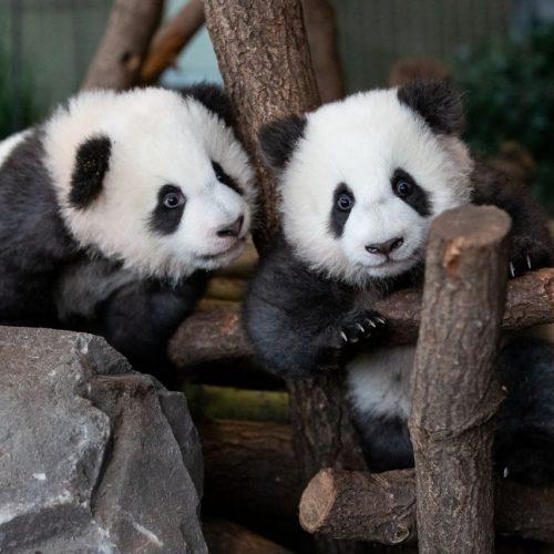 Mit 5 Monaten unternehmen die Panda-Zwillinge ihre 1. Ausflug ins Gehege.