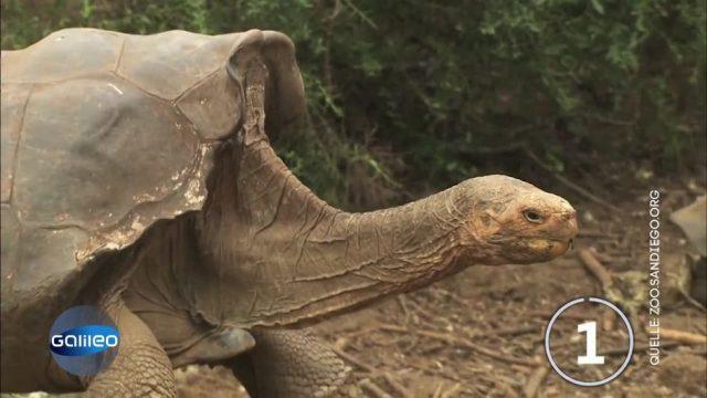 Über 800 Nachkommen gezeugt: Riesenschildkröte rettet ihre Art vor dem Aussterben!