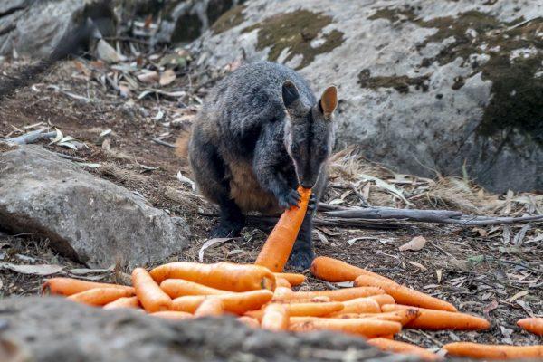 Die Felsenkängurus freuen sich über die Karotten