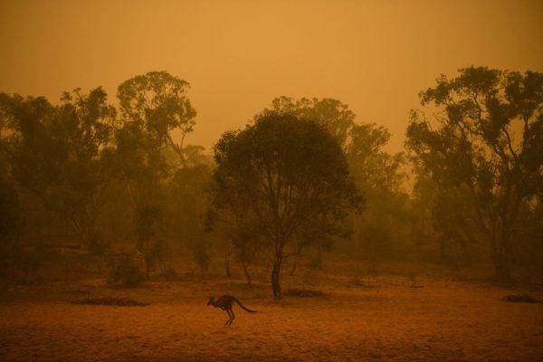 Känguru flüchtet vor Buschbränden