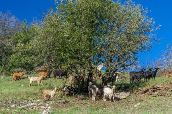 Ziegen helfen gegen Waldbrände