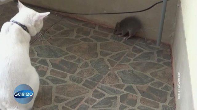 Katze gegen Ratte: Wer gewinnt den Kampf?