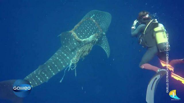 Taucher befreien Walhai von Seil