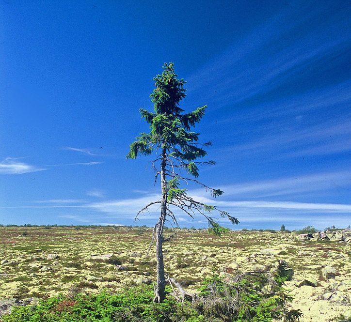 Ältester Baum der Welt