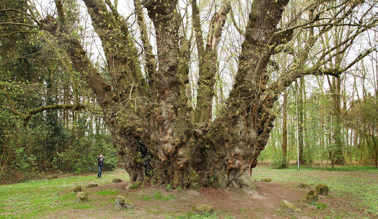 Dickster deutscher Baum