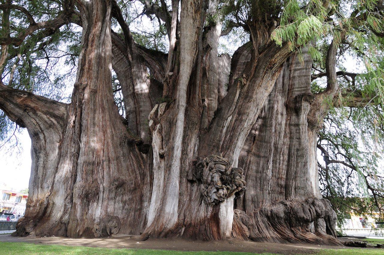 """""""El Gigante"""" dickster Baum der Welt"""