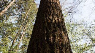 Höchster Baum Deutschlands