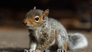 Ein Baby-Eichhörnchen guckt in die Kamera.