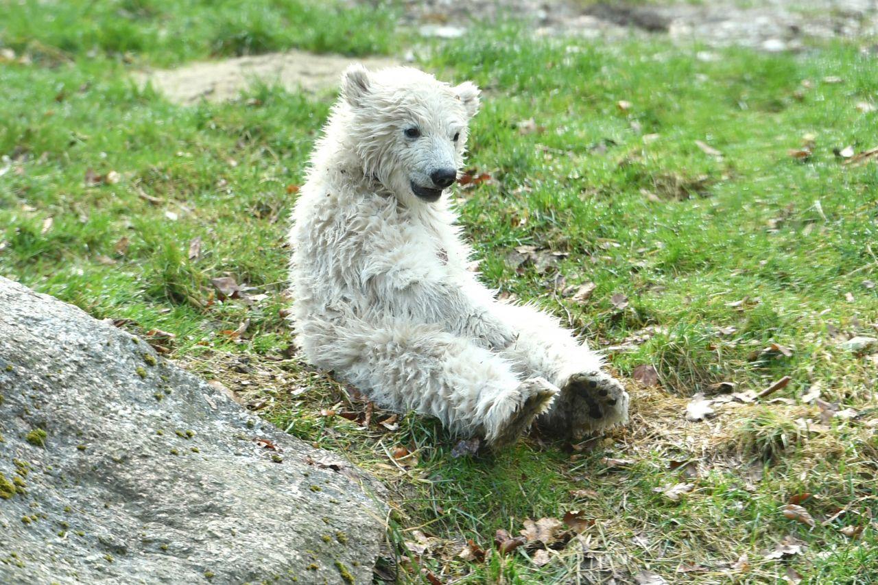 Das Eisbärenbaby Quintana im Tierpark Hellabrunn.