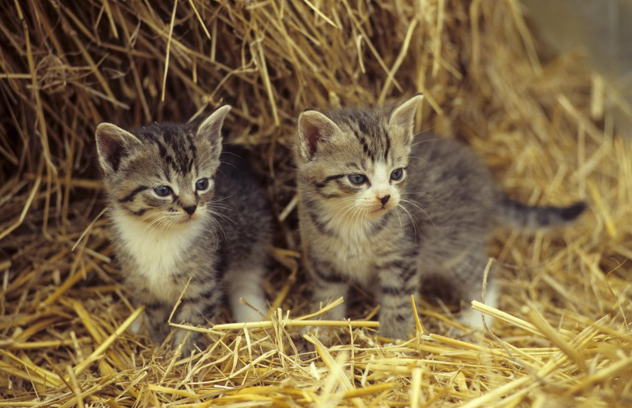 Zwei Katzenbabies im Stroh.