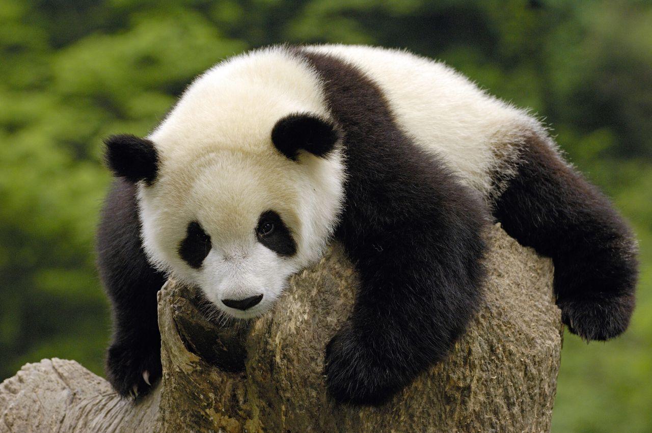 Ein süßer Panda ruht sich aus.