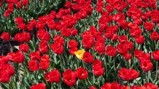 Tulpen-Crash