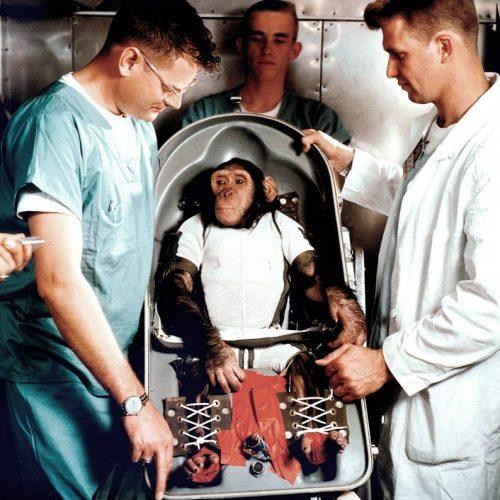 Die NASA schickte zahlreiche Affen ins All, darunter der Schimpanse Ham. Schimpansen haben im Vergleich zu Hunden einen Vorteil: Mit Hilfe von Bananen lassen sie sich trainieren, recht komplizierte Handgriffe ausführen. So konnten NASA-Wissenschaftler rausfinden, ob sich im All ein Raumschiff überhaupt per Hand steuern lässt.
