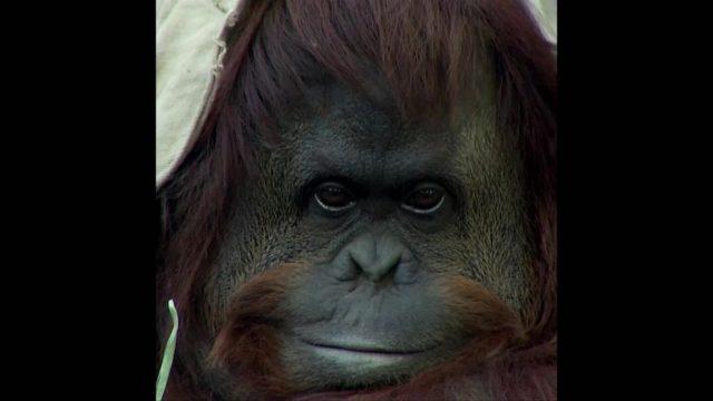 Affe Sandra erhält Menschenrechte - 10s