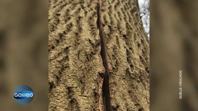 Atmende Bäume - was hat es damit auf sich?