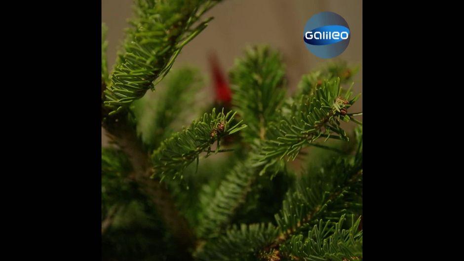 Der große Weihnachtsbaum-Check