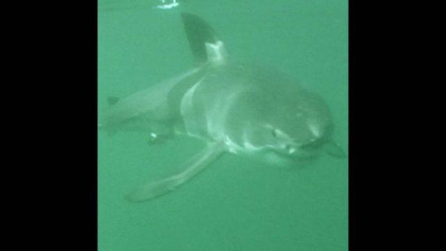 Raubtier aus der Tiefe: Der Weiße Hai - 10s