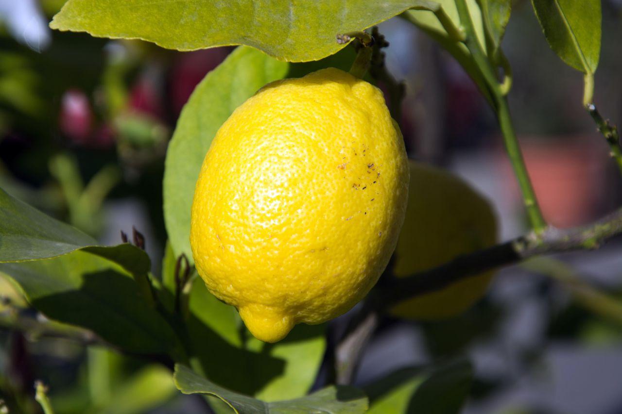 Eine Zitrone hängt am Baum.