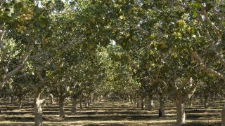 Pistazienbäume