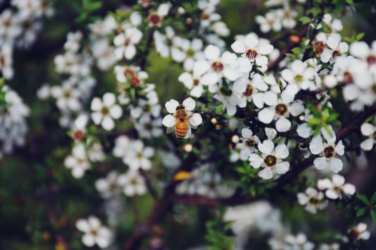 Manuka-Pflanze (Leptospermum scoparium)