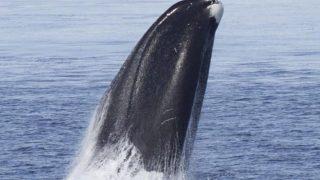 Grönlandwale werden über 200 Jahre alt.