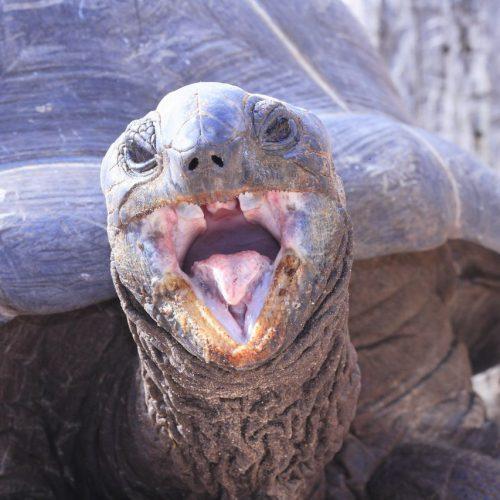 Die älteste Aldabra-Riesenschildkröte starb 2006 in einem indischen Zoo. Im Alter von 256 Jahren. Als sie 1770 geboren wurde, entdeckte James Cook gerade Australien.