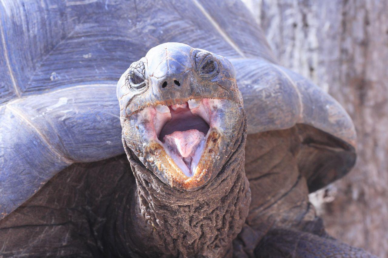 Die älteste Aldabra-Riesenschildkröte wurde 256 Jahre alt.