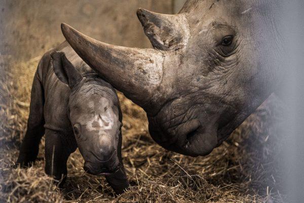 Knapp eine Woche ist das kleine Nashorn mittlerweile alt.
