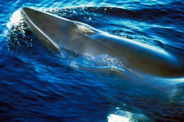 Vor Island werden dieses Jahr wieder keine Zwergwale gejagt