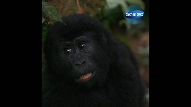 Die letzten Berggorillas Ugandas