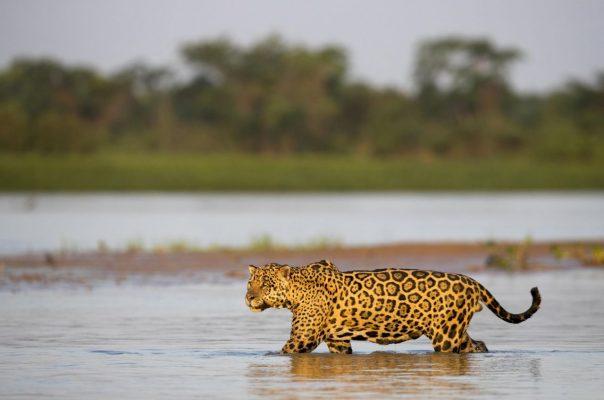 Ein Jaguar im Wasser.