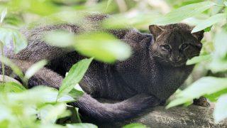 Ein Jaguarundi im Grünen.