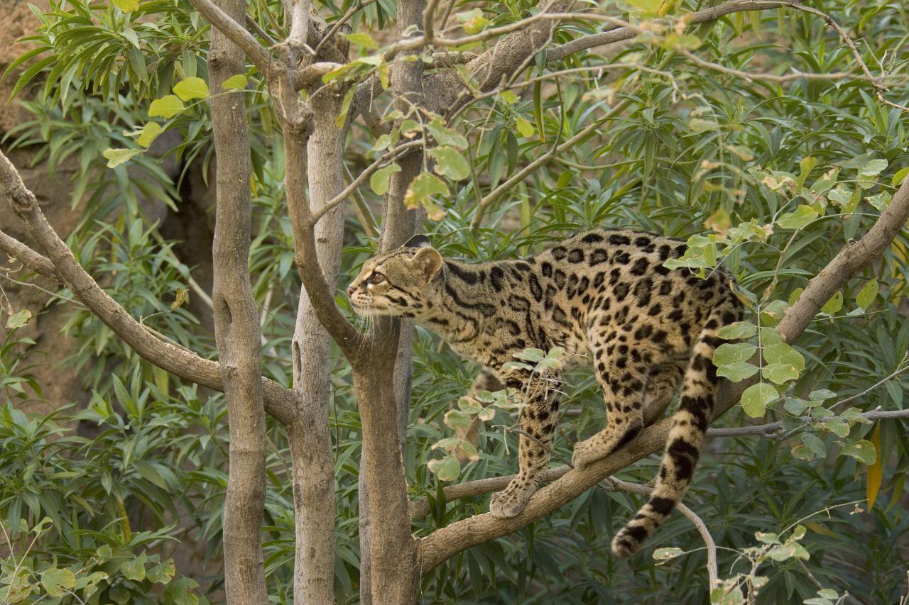 Eine Langschwanzkatze beim Klettern im Baum.