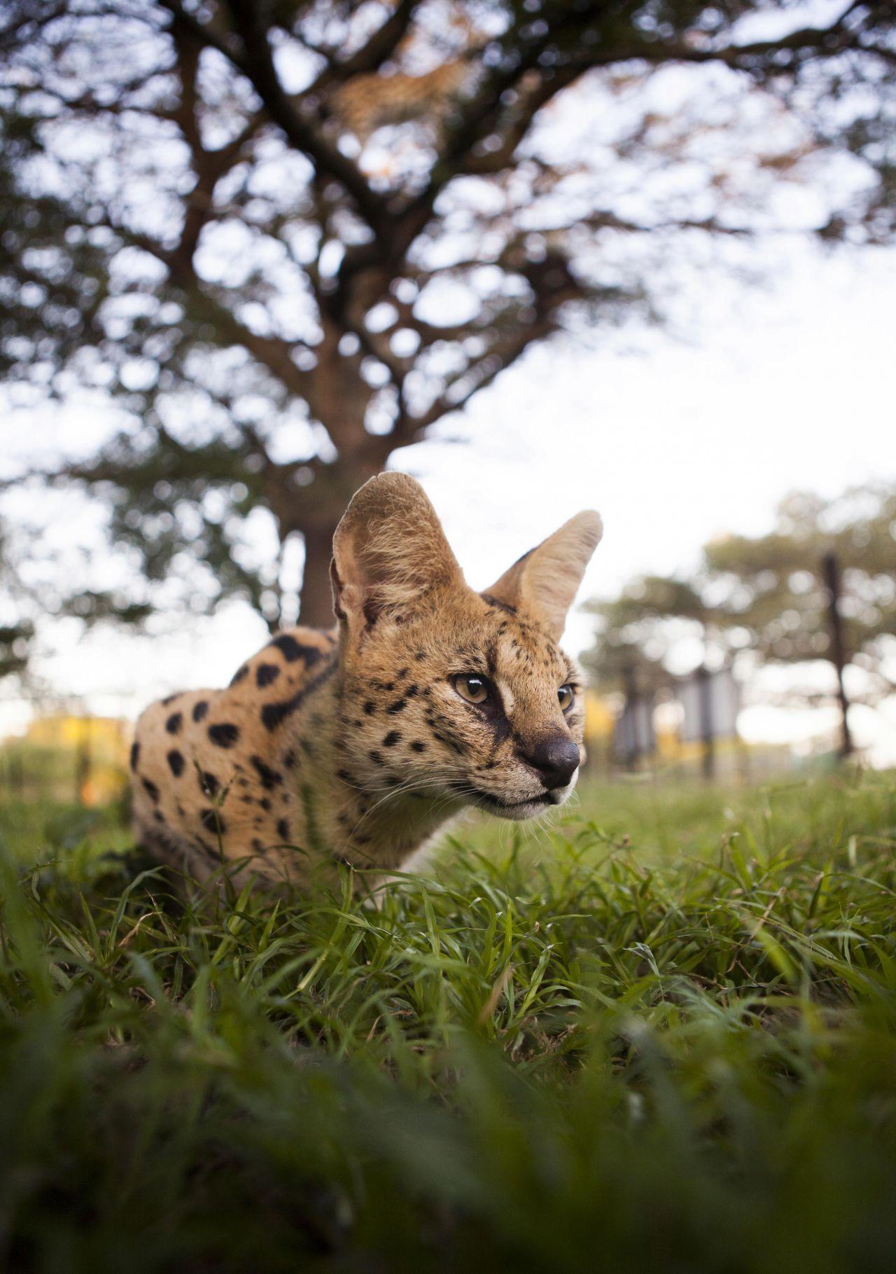 Ein Serval auf der Lauer.
