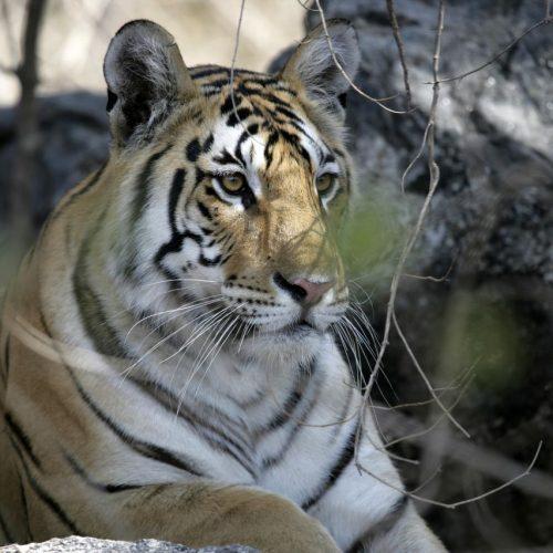 Ein Porträt von einem Tiger.