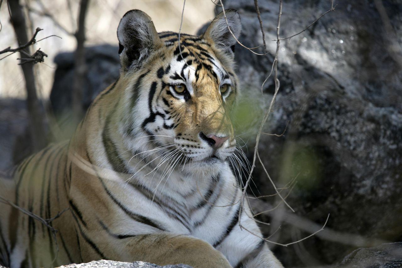 Großkatzen: Wie unterscheiden sich Tiger, Panther, Löwe und Leopard?