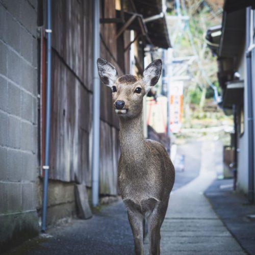 Hirsche beim Stadtbummel? In der japanischen Stadt Nara derzeit ein alltägliches Bild.