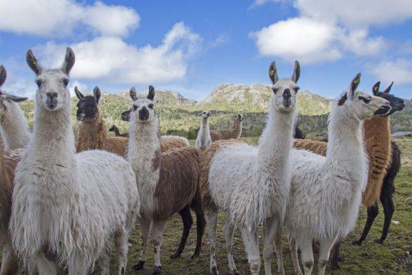 Lamas: Werden sie im Kampf gegen das Corona-Virus helfen?