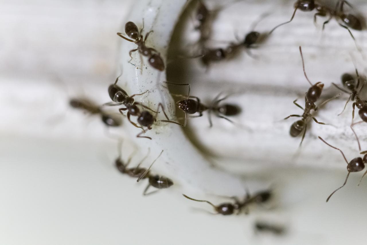 krabbelnde Ameisen