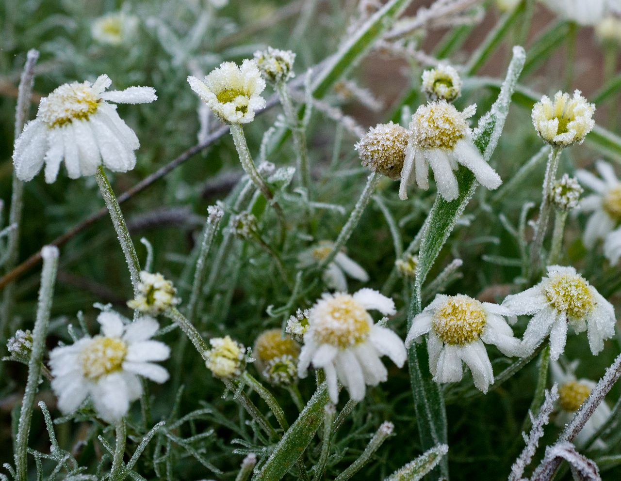 Bodenfrost Blumen