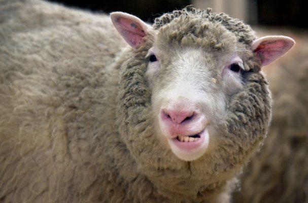 Schaf Dolly