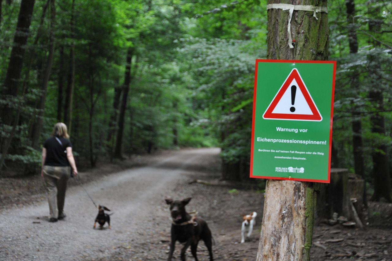 Frau geht mit Hunden Gassi in einem Gebiet mit Eichenprozessionsspinnern
