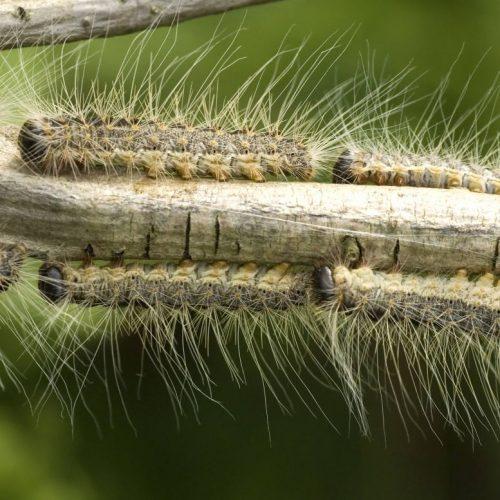 Eichenprozessionsspinner-Raupen auf einem Ast