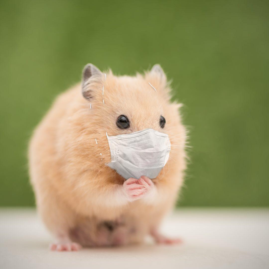 Hamster mit OP-Maske